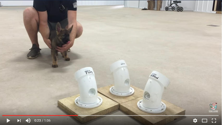 Police Puppy In Training Will Melt Your Heart - WATCH