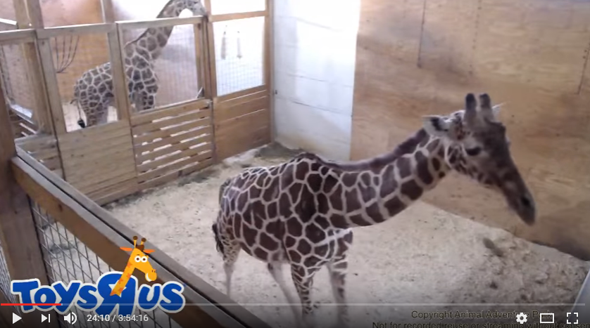 Congrats to April the Giraffe who finally gave birth over the weekend! WATCH: