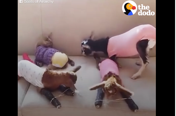 A Women Who As Dedicated Her Life To Saving Baby Goats Is Today's Hero - WATCH