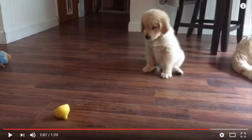 Adorable Puppy Is Super Confused By Lemon Slice - WATCH