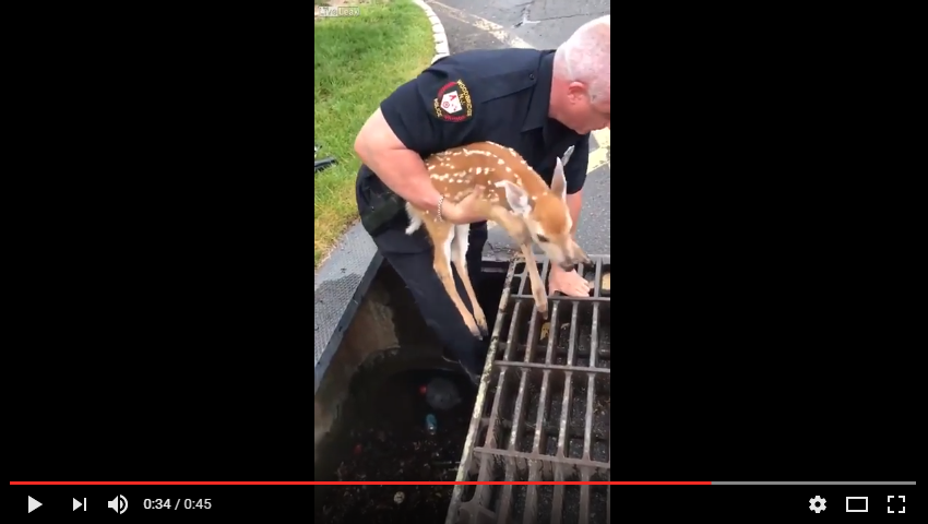 Adorable Fawn Screams With Delight After Police Save Her From A Storm Drain - WATCH