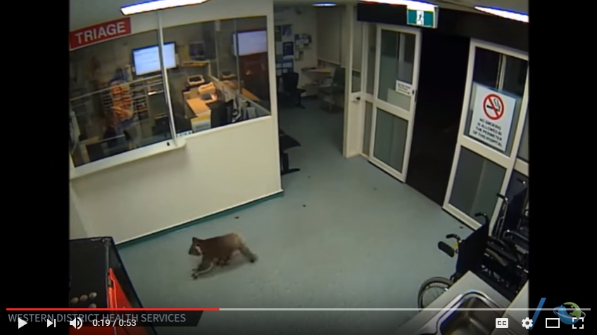 When A Koala Walks Into A Hospital - WATCh