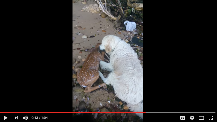 A dog rescues a baby deer that was drowning. WATCH