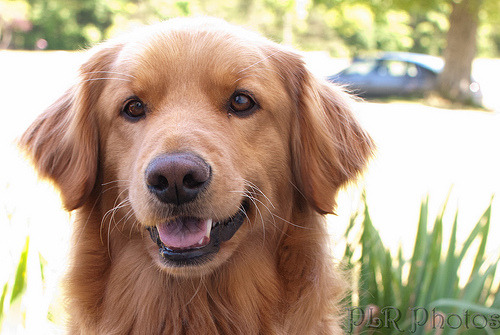 """Golden Retriever Face is the new Resting """"B"""" Face"""