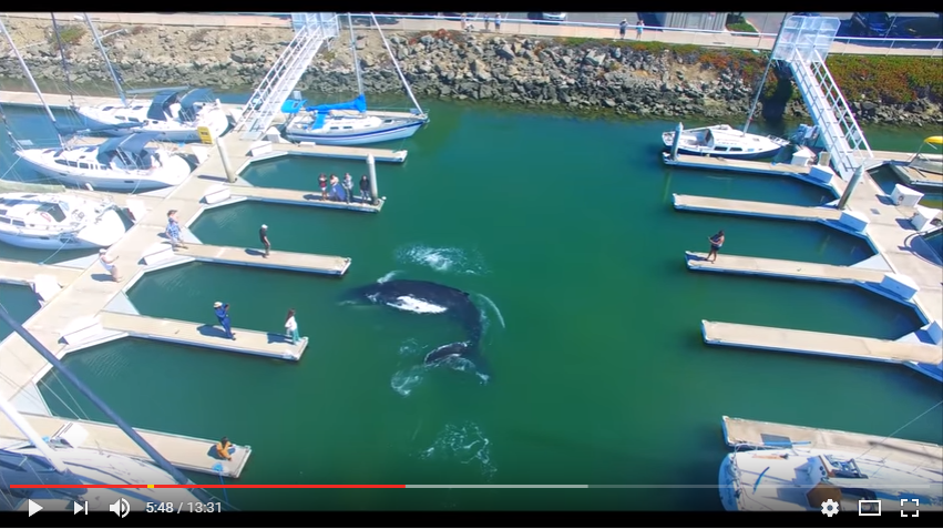 Large Humpback Whale Finds Himself Exploring The Marina - WATCH