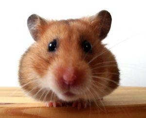 hamster-cute