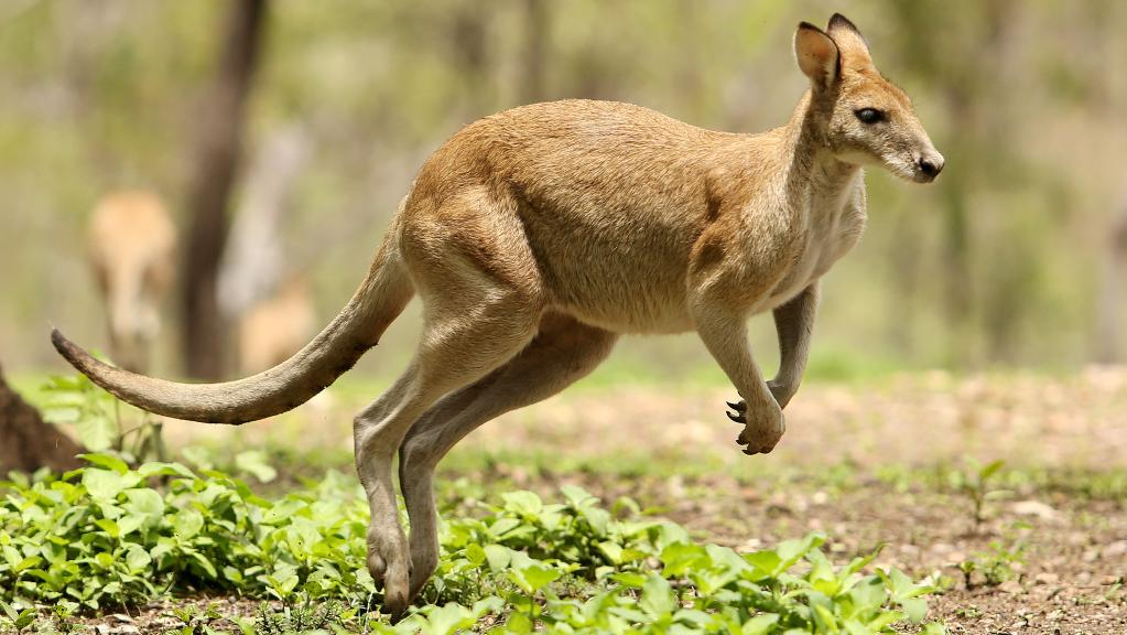 This Kangaroo Makin' Waves with his Racy Pose!