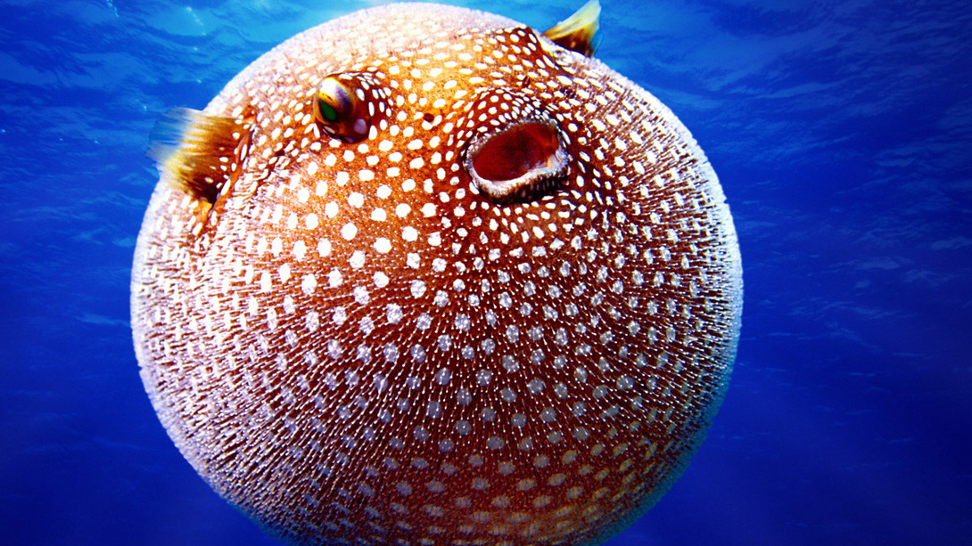 WATCH: Ever wonder how a puffer fish puffs? It's much simpler than you'd think.