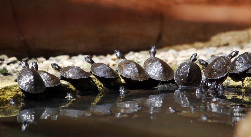 Colombianos dejan de comer tortugas de río para trabajar por su reproducción