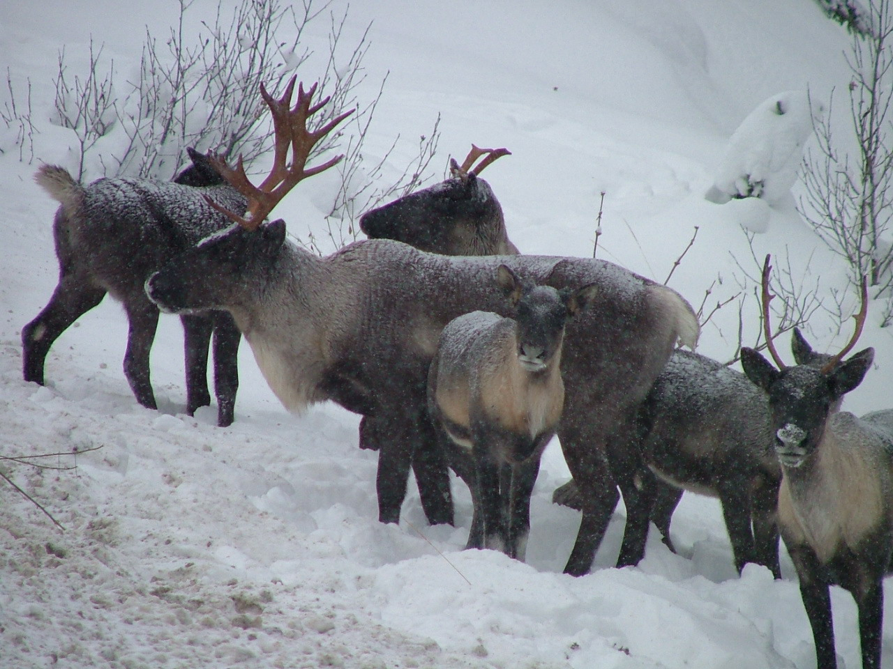 New government agreement to protect Kootenay Caribou