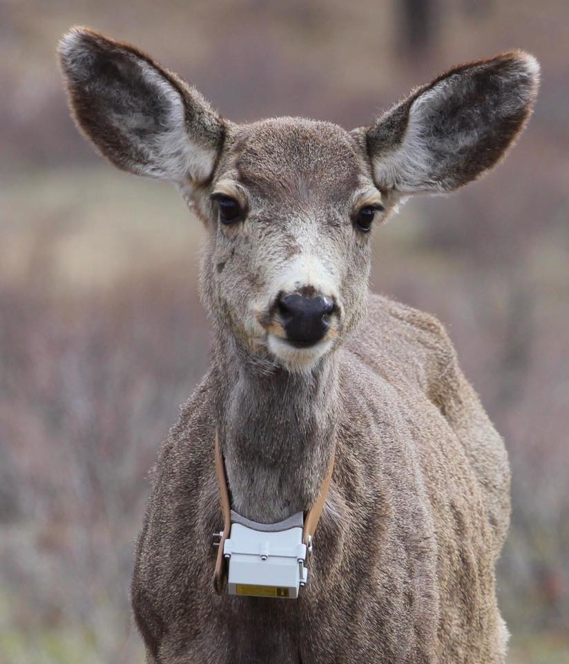 "Deer translocation pilot results ""individualized"", further study recommended"