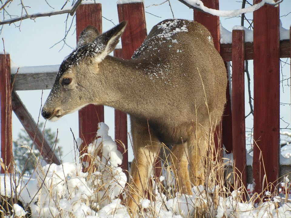 Kimberley counts deer before planned translocation