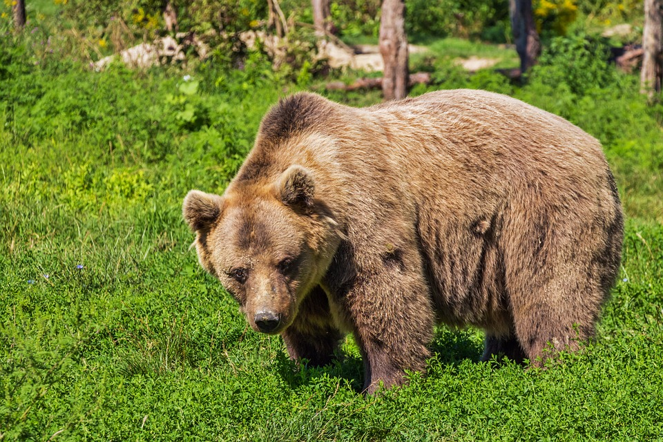 Relocated grizzly destroyed after returning to Fernie park