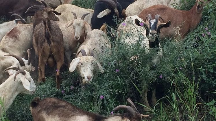 Invasive plants group wants Kimberley to use goats, not chemicals