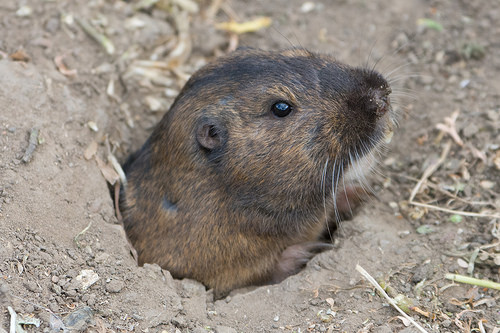 Kimberley issues statement on gopher population control