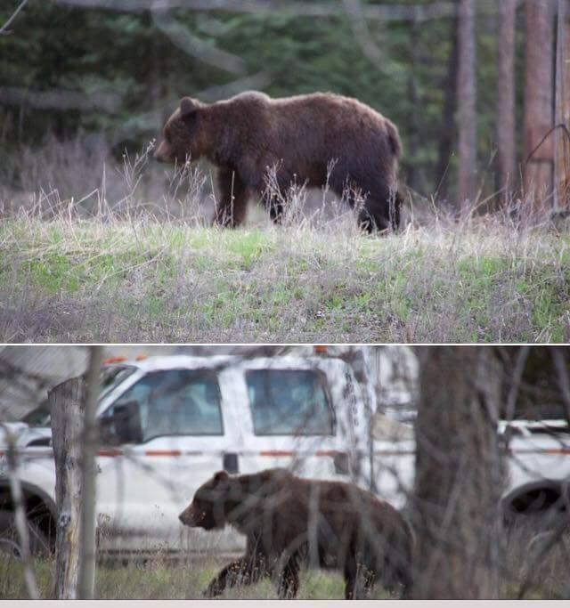 Several grizzlies reported in residential areas across Elk Valley