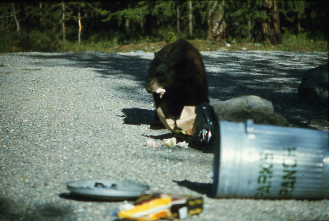 Attractants causing rise in Kimberley bear conflicts