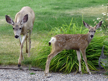 Cranbrook followed all the rules for deer cull: Mayor Pratt