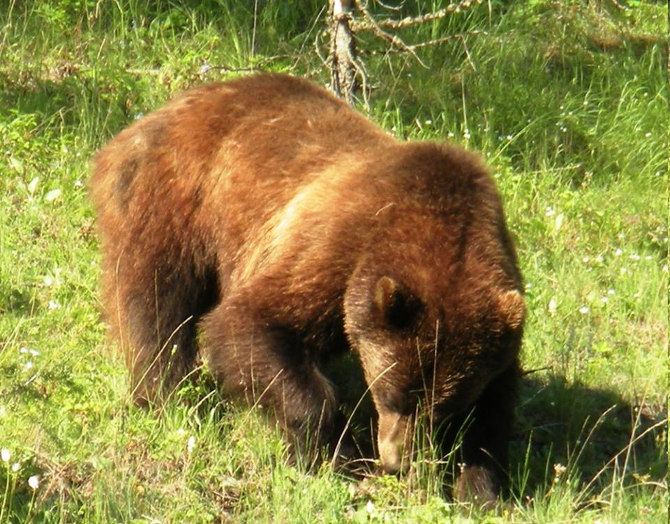 Local reactions to grizzly hunting ban luke warm