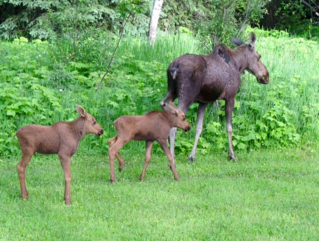 Volunteers wanted as search for orphaned Fernie moose continues