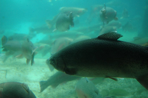 Albertan charged for alleged overlimit on fish near Skookumchuck