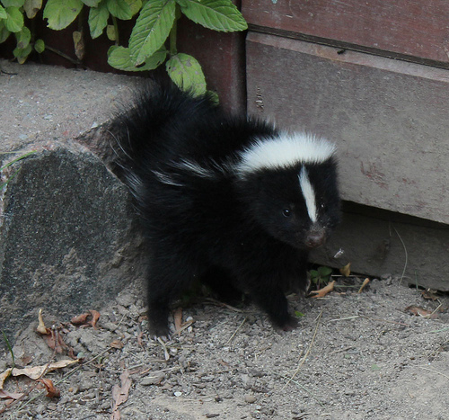Skunks causing a stink in Cranbrook and Kimberley