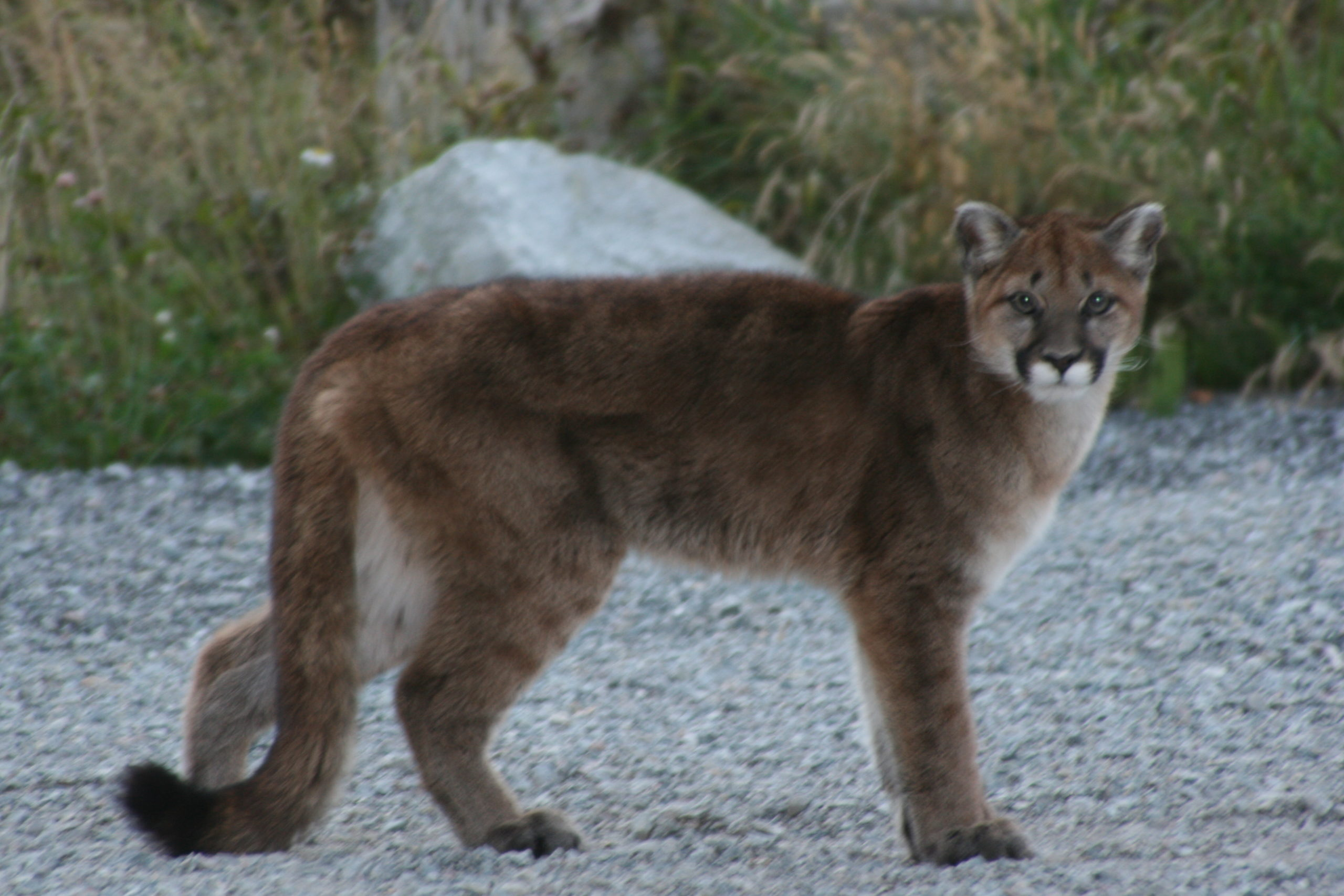 Several sightings of cougar on Fernie's Lazy Lizard trail