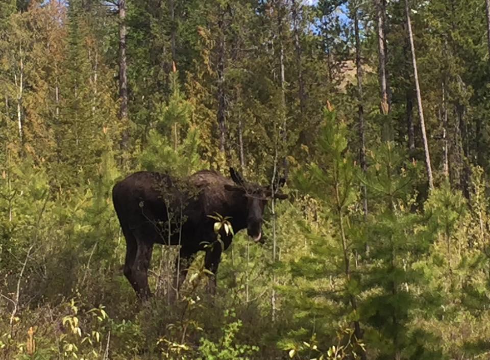 Moose charges biker near Fernie's Maiden Lake