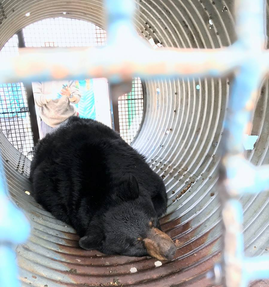 """Columbia Valley COs successful with """"rare"""" relocation of bear"""