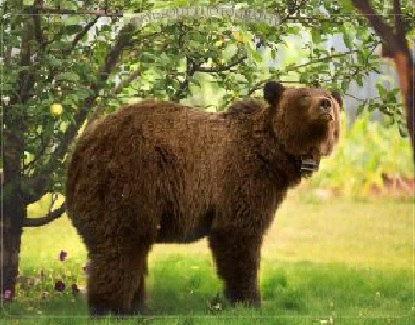 Grizzly spotted throughout Elkford, eating from fruit trees