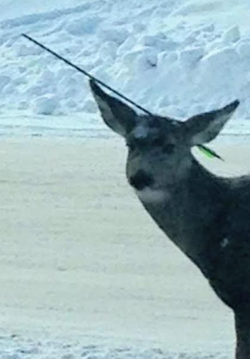 Elkford deer found with arrow in head