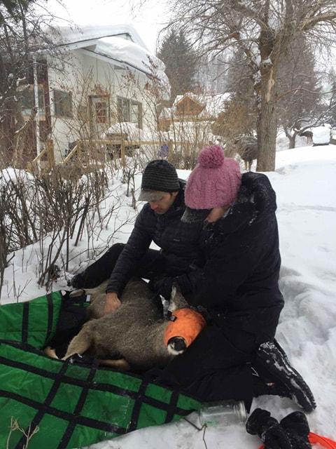 Kimberley Councillor calls city's deer translocation a success