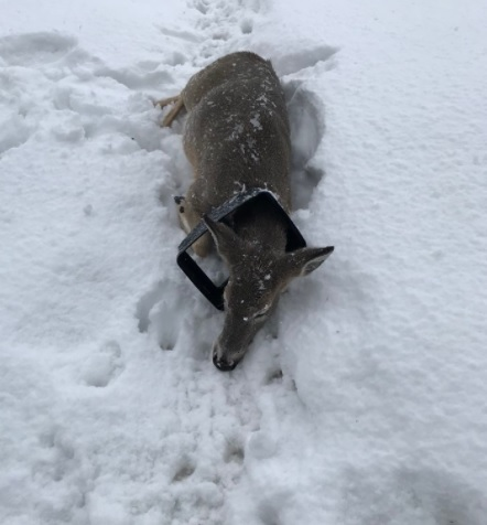 Cranbrook CO's remove garbage can lid from deer's neck