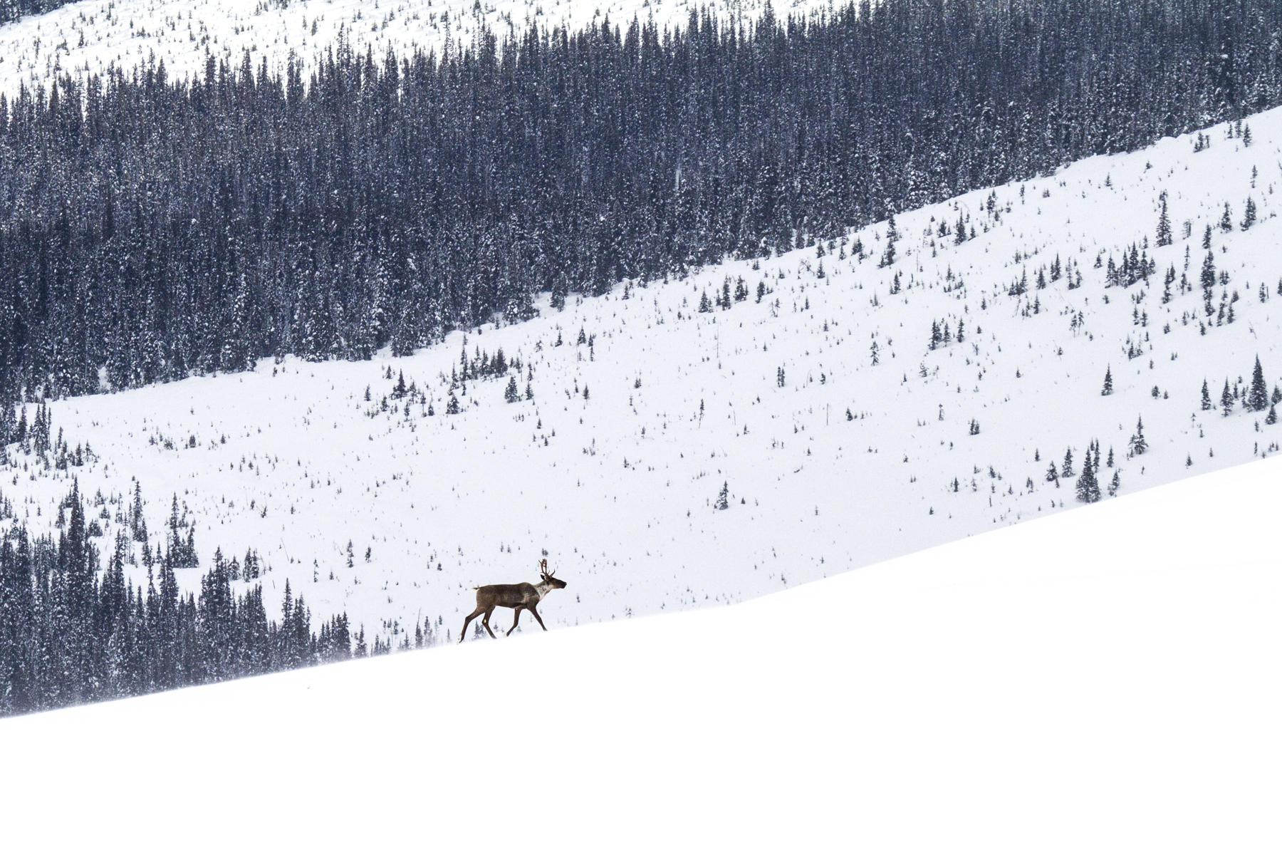 Concerns growing locally as Selkirk caribou herd diminishes