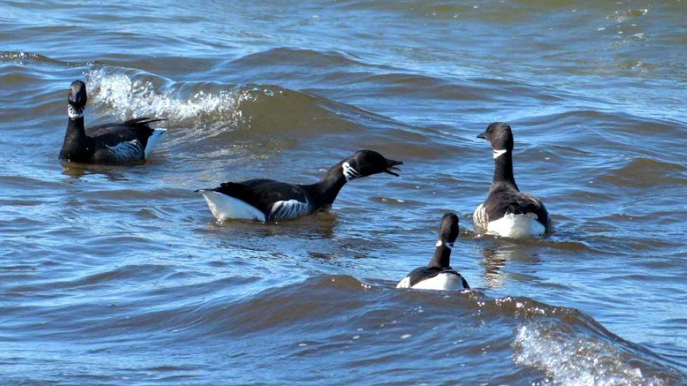 Arrival of Brant geese marks annual invasion of Oceanside beaches