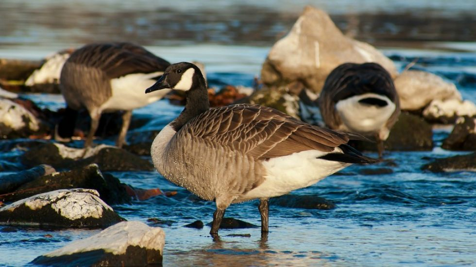 Cull a possibility as Canada Geese wreak havoc on mid-island