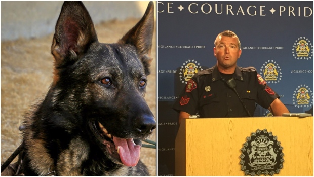 CALGARY POLICE DOG STABBED IN THE LINE OF DUTY---GOING TO RECOVER