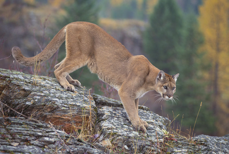 CALGARY GOLF COURSE EVACUATED DUE TO COUGAR SIGHTING