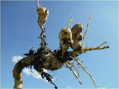 CLUBROOT CONFIRMED IN THE PEACE REGION