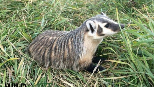 BABY BADGER NOW LIVING AT THE WILD NORTH REHAB CENTRE--ALMOST READY TO HEAD BACK TO THE WOODS