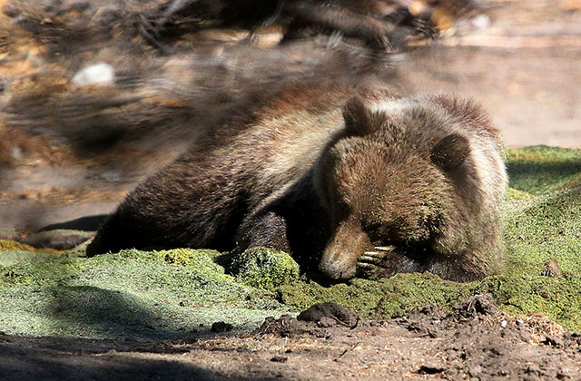 ALBERTA MAN WHO KILLED A COLLARED GRIZZLY---TOLD TO PAY ALMOST 13-K IN FINES
