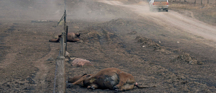 AT LEAST 400 CATTLE KILLED BY THIS WEEK'S WILDFIRES