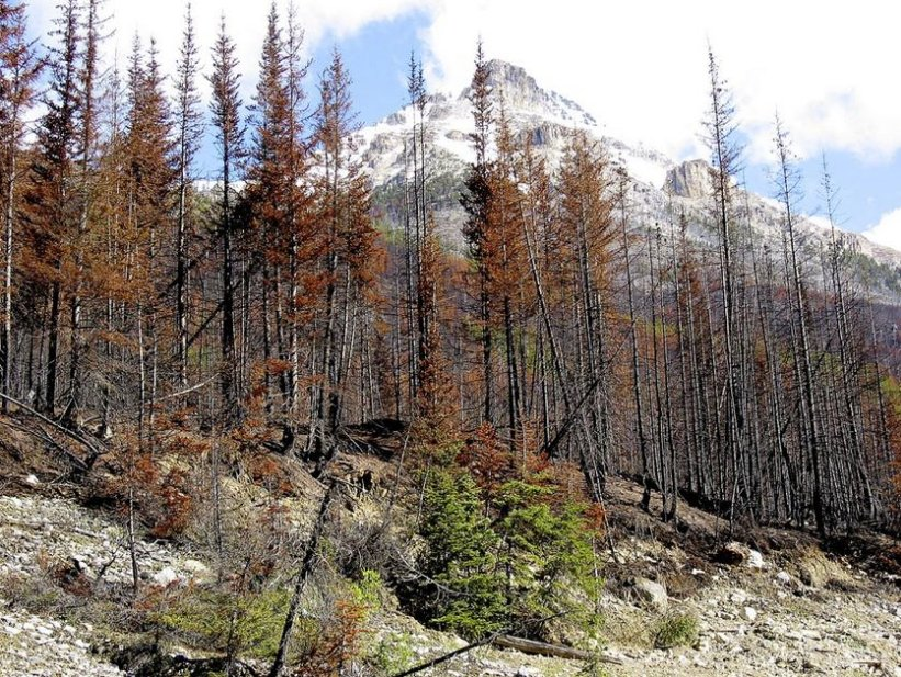 MOUNTAIN PINE BEETLES MARCHING OVER THE FOREST IN JASPER NATIONAL PARK