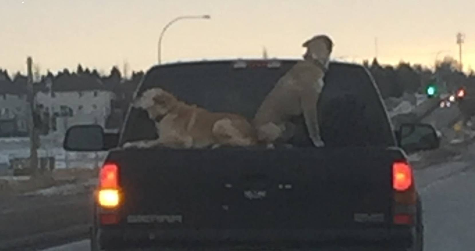 "CHARGES ""UNLIKELY"" AFTER MAN PHOTOGRAPHED WITH DOGS RIDING ON TRUCK BED COVER"