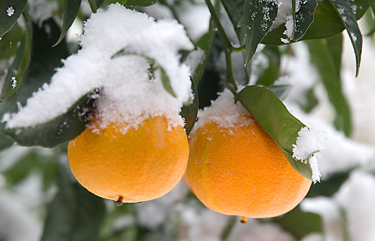 SNOWY CITRUS
