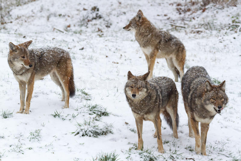 COYOTES ATTACK AND KILL LARGE DOG IN EDMONTON'S RIVER VALLEY