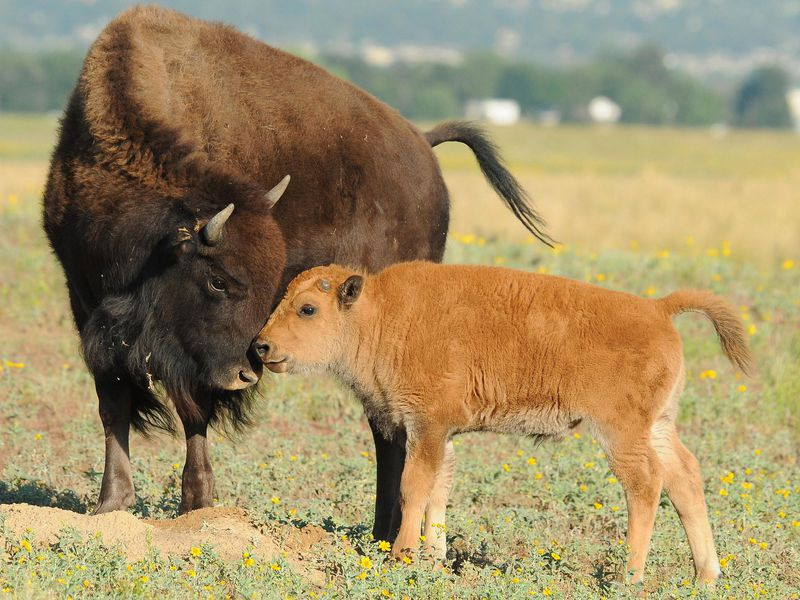 BABY BISON COULD BE FROLICKING WHERE THE BUFFALO ROAM IN BANFF THIS SPRING