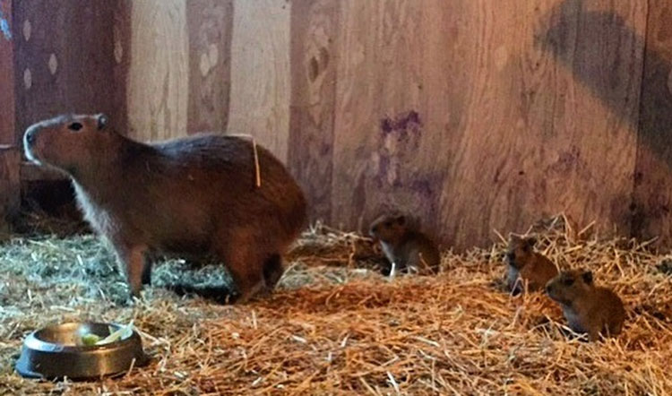 High Park Zoo Capybara Pups Named After Canadian Rock Band